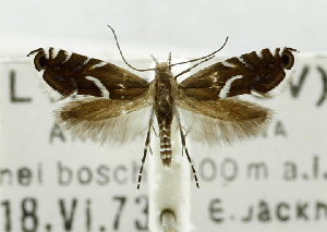 (Glyphipterix minorella - USNM ENT 01068350)  @11 [ ] Unspecified (default): All Rights Reserved  Unspecified Unspecified