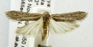 (Paroxyptera - USNM ENT 00193296)  @13 [ ] Unspecified (default): All Rights Reserved  Unspecified Unspecified