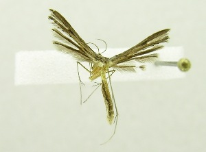(PterophoridaeGEN sp. AAL8472 - USNM ENT 00667653)  @13 [ ] Unspecified (default): All Rights Reserved  Unspecified Unspecified
