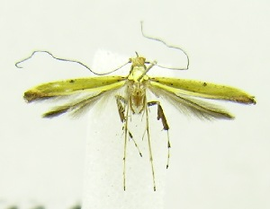 (Caloptilia sp. BOLD:AAV4639 - USNM ENT 00682289)  @13 [ ] Unspecified (default): All Rights Reserved  Unspecified Unspecified