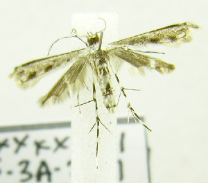 (PterophoridaeGEN sp. ABW3328 - USNM ENT 00682758)  @13 [ ] Unspecified (default): All Rights Reserved  Unspecified Unspecified