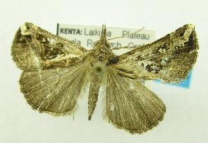 (Hypena varialis - USNM ENT 00719571)  @14 [ ] Unspecified (default): All Rights Reserved  Unspecified Unspecified