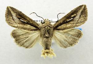 (Leucania leucosphenia - USNM ENT 00800830)  @15 [ ] Unspecified (default): All Rights Reserved  Unspecified Unspecified