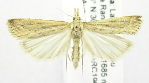 (Crambus fulvitinctellus - USNM ENT 00808514)  @13 [ ] Unspecified (default): All Rights Reserved  Unspecified Unspecified