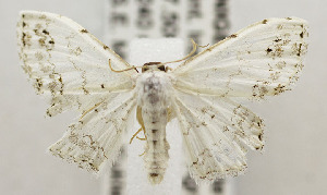 (Scopula sp - USNM ENT 00980969)  @14 [ ] Unspecified (default): All Rights Reserved  Unspecified Unspecified