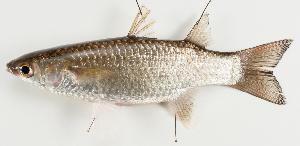 (Mugiliformes - M024-001)  @15 [ ] Copyright (2013) D. Ponton IRD