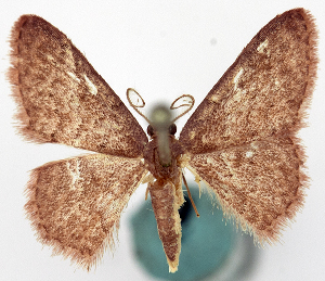 (Idaea catopolia - CCDB-11876-G02)  @11 [ ] CreativeCommons - Attribution Non-Commercial Share-Alike (2014) David Polluck Centre for Biodiversity Genomics