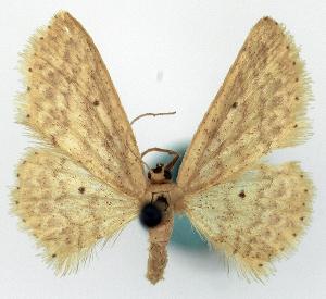 (Idaea exempta - CCDB-11876-F10)  @11 [ ] CreativeCommons - Attribution Non-Commercial Share-Alike (2014) David Polluck Centre for Biodiversity Genomics