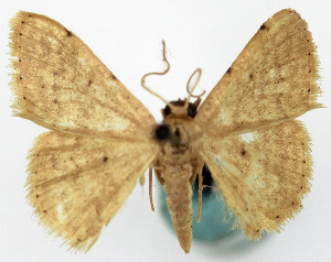 (Idaea sublactifera - CCDB-11876-F12)  @11 [ ] CreativeCommons - Attribution Non-Commercial Share-Alike (2014) David Polluck Centre for Biodiversity Genomics