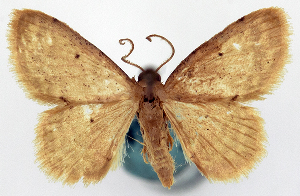 (Idaea velutina vulcani - CCDB-16669_H10)  @11 [ ] CreativeCommons - Attribution Non-Commercial Share-Alike (2014) David Polluck Centre for Biodiversity Genomics