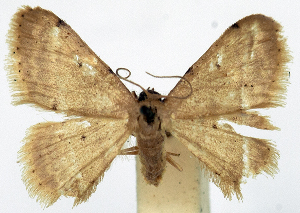 (Idaea sericeipennis - CCDB-11876-H05)  @11 [ ] CreativeCommons - Attribution Non-Commercial Share-Alike (2014) David Polluck Centre for Biodiversity Genomics