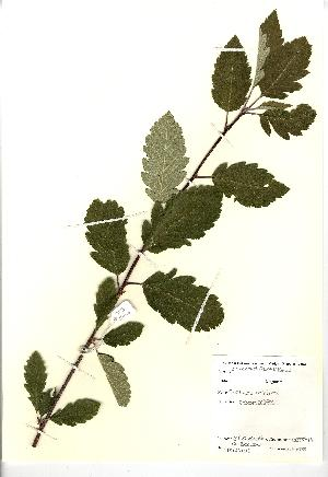 (Sorbus minima - NBGW5044)  @11 [ ] Unspecified (default): All Rights Reserved  Unspecified Unspecified