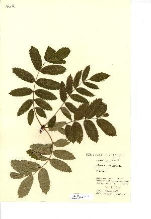 (Sorbus domestica - NMW707)  @11 [ ] Unspecified (default): All Rights Reserved  Unspecified Unspecified
