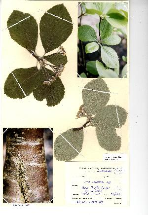 (Sorbus menai-strait - NMW729)  @11 [ ] Unspecified (default): All Rights Reserved  Unspecified Unspecified