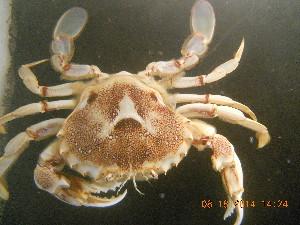 (Ovalipidae - BOPD_PRIMBA 001)  @14 [ ] CreativeCommons - Attribution Non-Commercial Share-Alike (2014) Unspecified Laboratorio de Zoología de Invertebrados