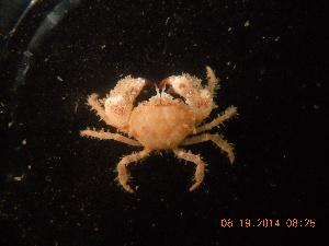 (Pilumnoididae - BOPD_PRIMBA 067)  @14 [ ] CreativeCommons - Attribution Non-Commercial Share-Alike (2014) Unspecified Laboratorio de Zoología de Invertebrados