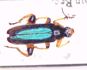 BOLD Systems: Taxonomy Browser - Osphya aeneipennis {species}