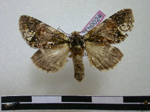 (Hardingia - BC-PTh0024)  @14 [ ] Copyright (2010) Paul Thiaucourt Research Collection of Paul Thiaucourt