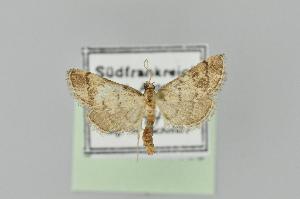 (Metasia ophialis - BC MTD Lep 01169)  @13 [ ] Copyright (2011) M. Nuss, Senckenberg Museum of Zoology, Dresden Senckenberg Museum of Zoology, Dresden