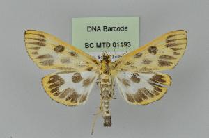 (Tyspanodes sp. 1ZY - BC MTD Lep 01193)  @14 [ ] Copyright (2011) M. Nuss, Senckenberg Museum of Zoology, Dresden Senckenberg Museum of Zoology, Dresden