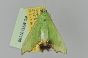 (Parotis laceritalis - BC MTD Lep 01196)  @15 [ ] Copyright (2011) M. Nuss, Senckenberg Museum of Zoology, Dresden Senckenberg Museum of Zoology, Dresden