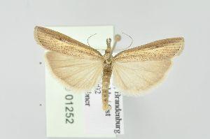 (Agriphila - BC MTD Lep 01252)  @15 [ ] Copyright (2011) M. Nuss, Senckenberg Museum of Zoology, Dresden Senckenberg Museum of Zoology, Dresden