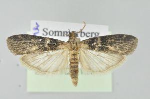 ( - BC MTD Lep 01291)  @14 [ ] Copyright (2011) M. Nuss, Senckenberg Museum of Zoology, Dresden Senckenberg Museum of Zoology, Dresden