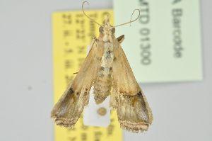(Cavipalpia transludicella - BC MTD Lep 01300)  @12 [ ] Copyright (2011) M. Nuss, Senckenberg Museum of Zoology, Dresden Senckenberg Museum of Zoology, Dresden