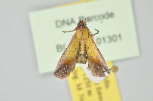 (Guastica semilutea - BC MTD Lep 01301)  @12 [ ] Copyright (2011) M. Nuss, Senckenberg Museum of Zoology, Dresden Senckenberg Museum of Zoology, Dresden