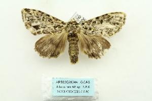 (Acronicta hercules - ARB00028044)  @14 [ ] Copyright  SCDBC-KIZ-CAS, Imaging group Kunming Institute of Zoology, CAS