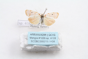 (Cyana quadrinotata - ARB00029266)  @12 [ ] Copyright  SCDBC-KIZ-CAS, Imaging group Kunming Institute of Zoology, CAS