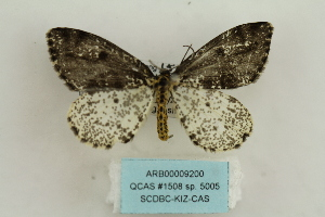 (Abraxas sp. 5005 - ARB00009200)  @11 [ ] Copyright  SCDBC-KIZ-CAS, Imaging group Kunming Institute of Zoology, CAS