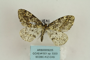 (Abraxas sp. 5333 - ARB00009205)  @11 [ ] Copyright  SCDBC-KIZ-CAS, Imaging group Kunming Institute of Zoology, CAS