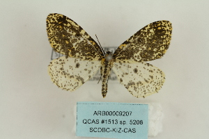(Abraxas sp. 5208 - ARB00009207)  @11 [ ] Copyright  SCDBC-KIZ-CAS, Imaging group Kunming Institute of Zoology, CAS