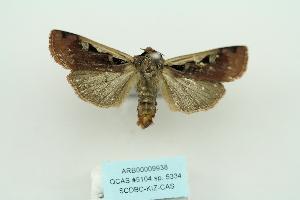 (Euxoa oberthuri - ARB00009938)  @13 [ ] Copyright  SCDBC-KIZ-CAS, Imaging group Kunming Institute of Zoology, CAS