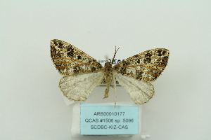 (Alcis AH02Ch - ARB00010177)  @13 [ ] Copyright  SCDBC-KIZ-CAS, Imaging group Kunming Institute of Zoology, CAS