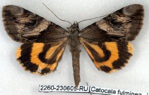 (Catocala fulminea - 2260-230605-RU)  @15 [ ] Unspecified (default): All Rights Reserved  Unspecified Unspecified