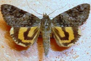 (Catocala musmi - 20017-270711-RU)  @14 [ ] Copyright (2013) Aidas Saldaitis Vilinus Ecological Institute