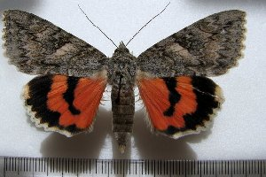 (Catocala repudiata - 20020-170812-KA)  @13 [ ] Copyright (2013) Aidas Saldaitis Vilinus Ecological Institute