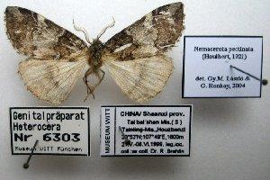 (Nemacerota pectinata - 20032-010699-CH)  @11 [ ] Copyright (2013) Aidas Saldaitis Vilinus Ecological Institute