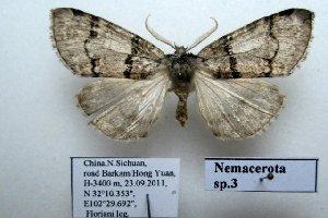 (Nemacerota sp. 3 - 20034-230911-CH)  @13 [ ] Copyright (2013) Aidas Saldaitis Vilinus Ecological Institute