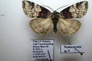 (Nemacerota sp. 5 - 20036-061012-CH)  @13 [ ] Copyright (2013) Aidas Saldaitis Vilinus Ecological Institute
