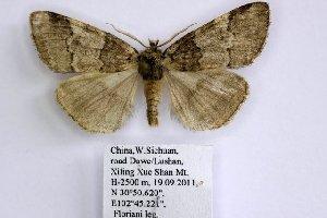 (Nemacerota sp - 20040-190911-CH)  @14 [ ] Copyright (2013) Aidas Saldaitis Vilinus Ecological Institute