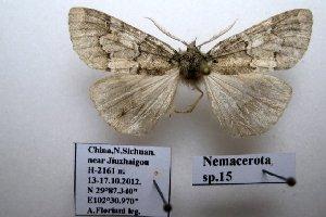 (Nemacerota sp. 15 - 20043-151012-CH)  @12 [ ] Copyright (2013) Aidas Saldaitis Vilinus Ecological Institute