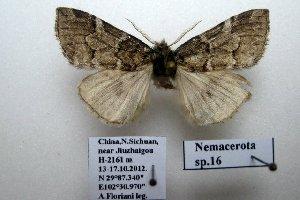 (Nemacerota sp. 16 - 20044-151012-CH)  @12 [ ] Copyright (2013) Aidas Saldaitis Vilinus Ecological Institute