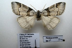 (Nemacerota sp. 17 - 20045-081012-CH)  @13 [ ] Copyright (2013) Aidas Saldaitis Vilinus Ecological Institute