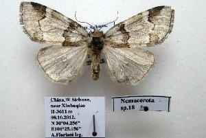 (Nemacerota sp. 18 - 20047-081012-CH)  @14 [ ] Copyright (2013) Aidas Saldaitis Vilinus Ecological Institute