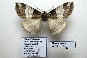 (Nemacerota sp. 19 - 20048-061012-CH)  @13 [ ] Copyright (2013) Aidas Saldaitis Vilinus Ecological Institute