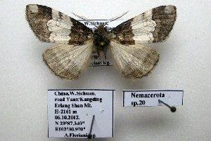 (Nemacerota sp. 20 - 20049-061012-CH)  @12 [ ] Copyright (2013) Aidas Saldaitis Vilinus Ecological Institute