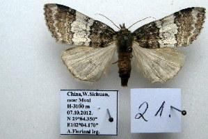 (Nemacerota sp. 21 - 20051-100712-CH)  @12 [ ] Copyright (2013) Aidas Saldaitis Vilinus Ecological Institute